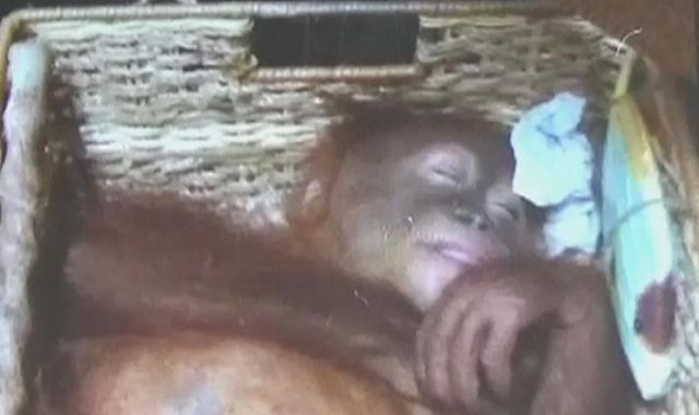 Russian tourist arrested for trying to smuggle drugged orangutan out of Bali