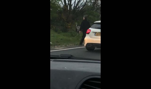 'Ostrich' causes traffic chaos after crossing A12 in Essex