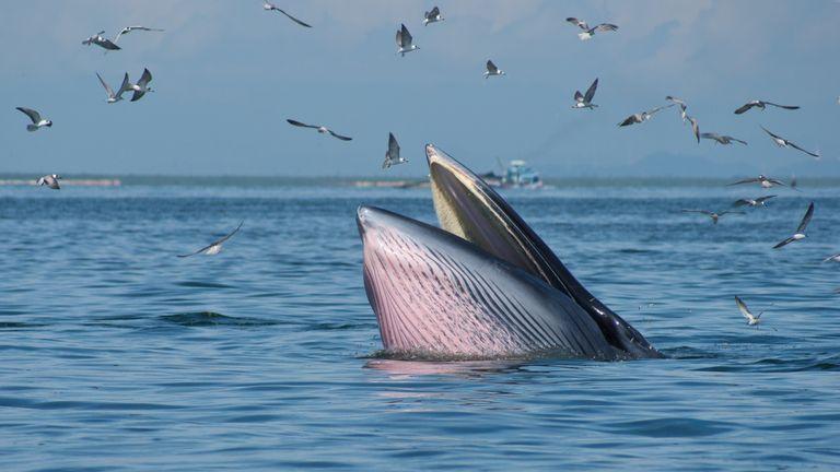 Bryde's Whale, Aquatic Mammal, Fish, Mammal, Whale