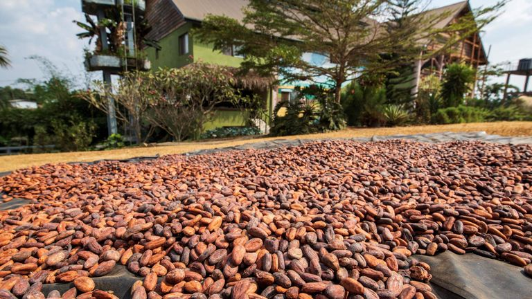 Cocoa is one of the foodstuffs that contain flavonoids