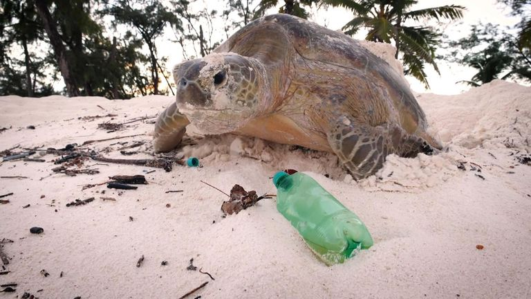 Turtles were  seen crawling over plastic bottles and other debris to lay their eggs