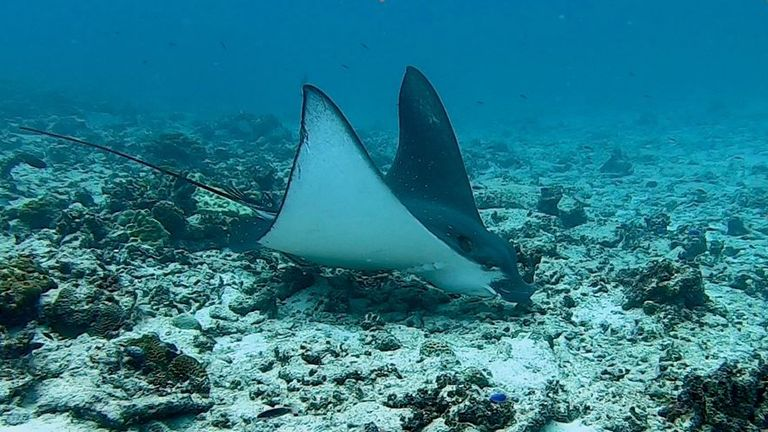 The eagle ray was photographed off Cousin Island, where the coral has crumbled
