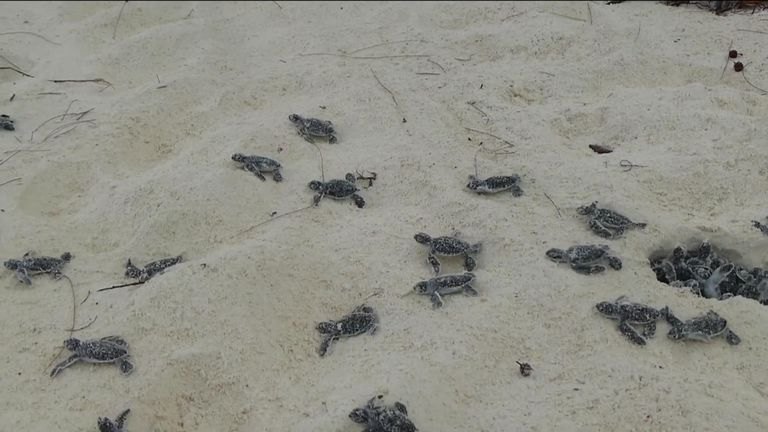 Young turtles can struggle to reach the sea because of plastic debris