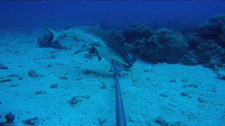 A shark inspects an object on the floor of the Indian Ocean