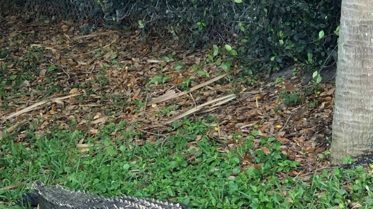 An alligator found in Jupiter, Florida. Pic: Jupiter Police Dept