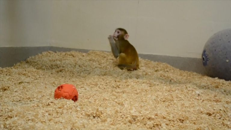 Grady, the young macaque whose birth may signal a step change in fertility treatment available to young cancer patients.