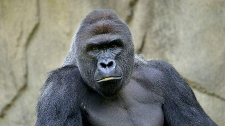 Harambe was shot dead after a boy climbed into his exhibit at Cincinnati zoo. Pic: Twitter/Cincinnati Zoo