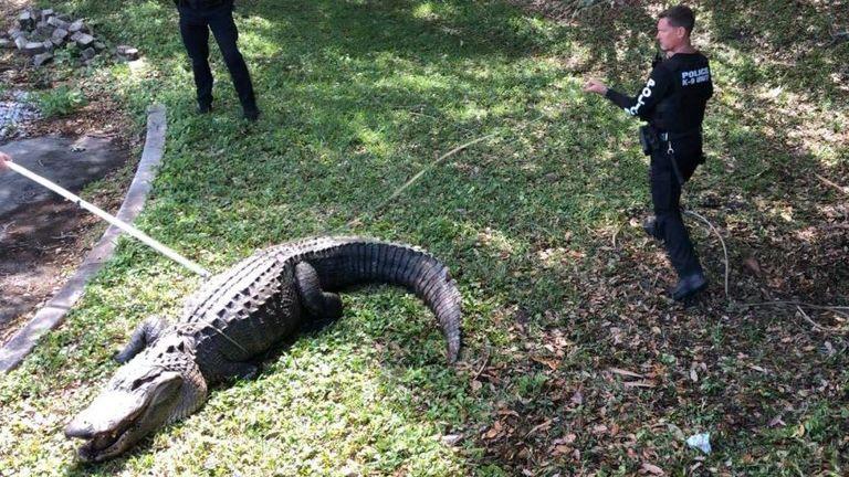 An alligator found in Florida. Pic: Jupiter Police Dept
