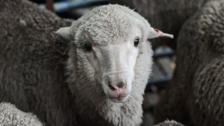 A Merino lamb born last year from 50-year old semen. Pic: Morgan Hancock/University of Sydney