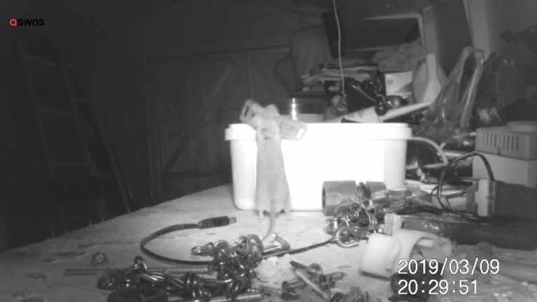 A mouse has been captured tidying up nuts and bolts in a pensioner's shed.