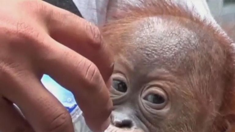 Baby orangutan recovers at conservation centre in Bali after being discovered in a suitcase at an airport