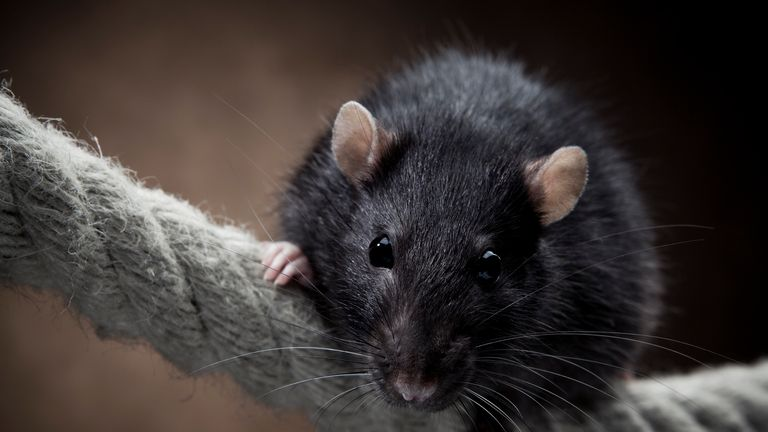 Thirty two people were treated for rat bites in hospital in England last year