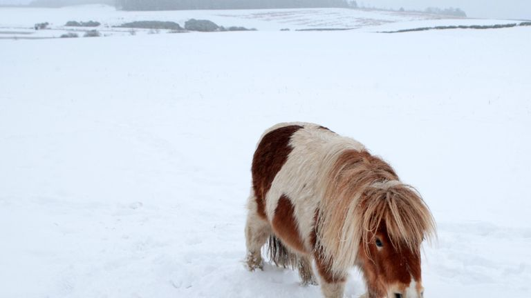 Shetland ponies play in the snow near Edinburgh
