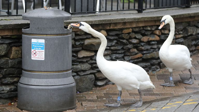 Swans scavenge for scraps of food in bins in Bowness-on-Windermere, Lake District. Pic: Ben Lack/Yappapp