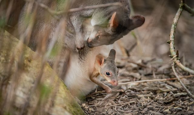 'Miniature kangaroo' peeks out of mother's pouch for first time at Chester Zoo