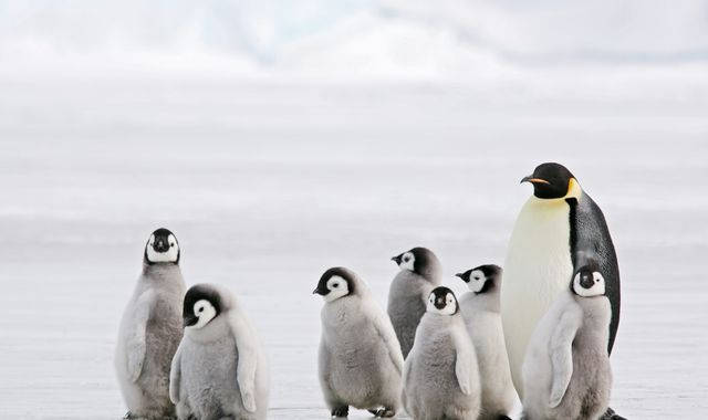 Almost no eggs hatch at emperor penguin breeding ground in three years