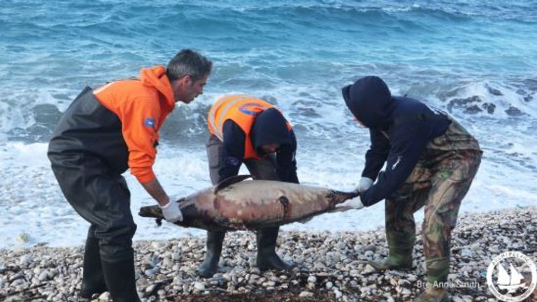 Scientists are worried about an increase in dolphin deaths and think it may be the fault of the Turkish Navy. Pic: Archipelagos Institute of Marine Conservation