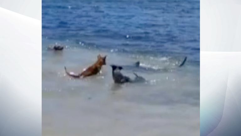 Neither sharks nor dogs appeared hurt in the encounter. Pic: Magnus News/Greg MacKinnon