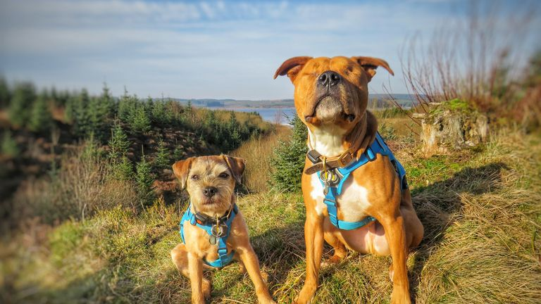 Amos (right) the blind staff cross with his border terrier best friend Toby