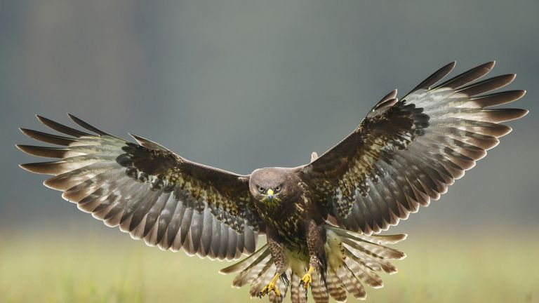It is illegal to shoot a buzzard