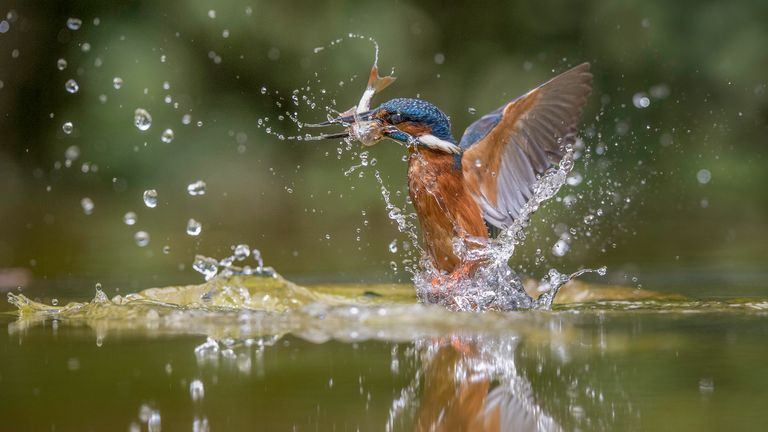 Kingfisher rising from the water in Suffolk, England