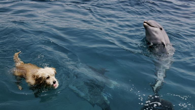 EILAT, ISRAEL - APRIL 27: Joker, the resident terrier dog at the Dolphin Reef center, frolics with the attraction's bottlenose dolphins during his daily swim April 27, 2005 in the Israeli Red Sea resort of Eilat. Tens of thousands of Israeli and foreign tourists are taking advantage of the Jewish passover holiday to enjoy the warm waters and sunny weather in Israel's southernmost city. (Photo by David Silverman/Getty Images)
