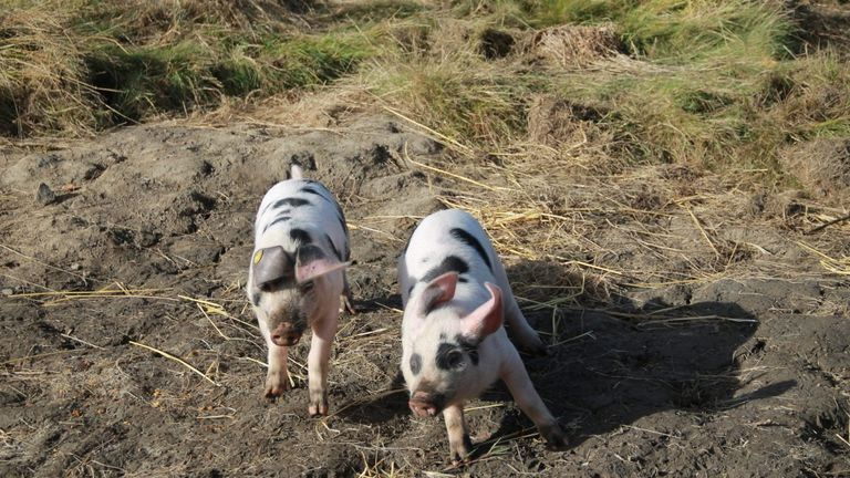 Pupils will be allowed to stroke the pigs during farming sessions, but know they are not pets