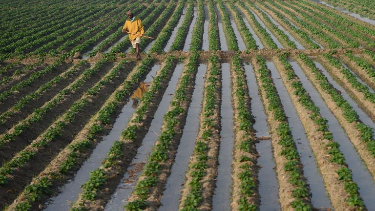 An Indian farmer works in a potato field on the outskirts of Jalandhar on November 20, 2018. (Photo by Shammi MEHRA / AFP) (Photo credit should read SHAMMI MEHRA/AFP/Getty Images)