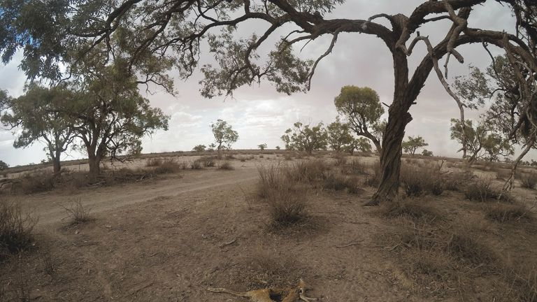 The carcass of a kangaroo on March 06, 2019 in Wilcannia, Australia