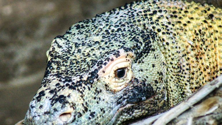 Komodo island is home to a vulnerable population of komodo dragons