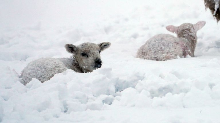 Farmers are concerned for the well-being of their newborn lambs during the cold snap