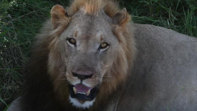 Simba was eventually released into the wild. Pic: Lord Ashcroft
