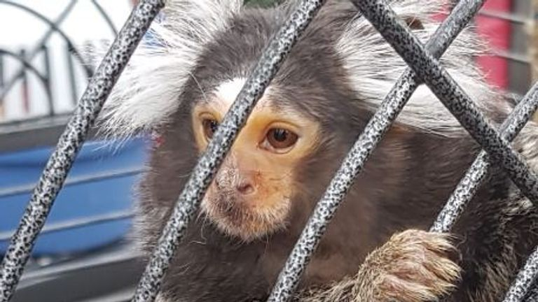 The monkey was seized in a raid in Dublin