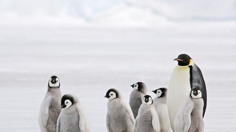 Fears have been raised about the future of emperor penguins