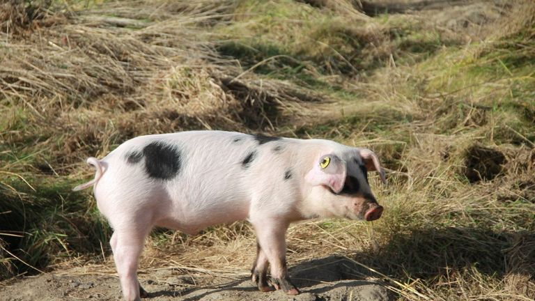 The school says pigs will be twice as durable as commercial breeds