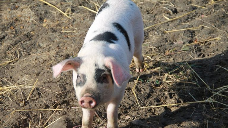 The pigs were not named and reminded the pupils that they were not pets