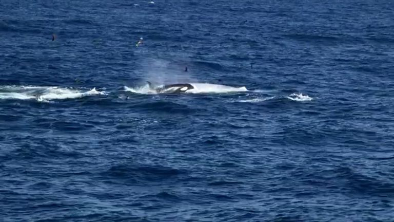 Blue Whale hunted by pod of Killer Whales