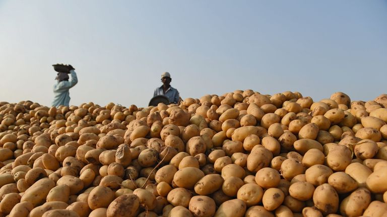 Indian farmers pile harvested potatoes in a field near Magodi village, some 40 kms. from Ahmedabad on February 27, 2018. / AFP PHOTO / SAM PANTHAKY (Photo credit should read SAM PANTHAKY/AFP/Getty Images)