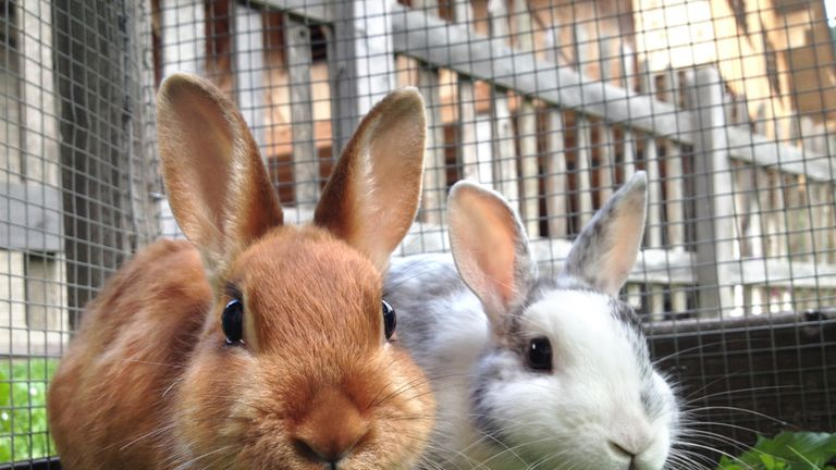 Rabbits may have been brought to the UK by Roman settlers
