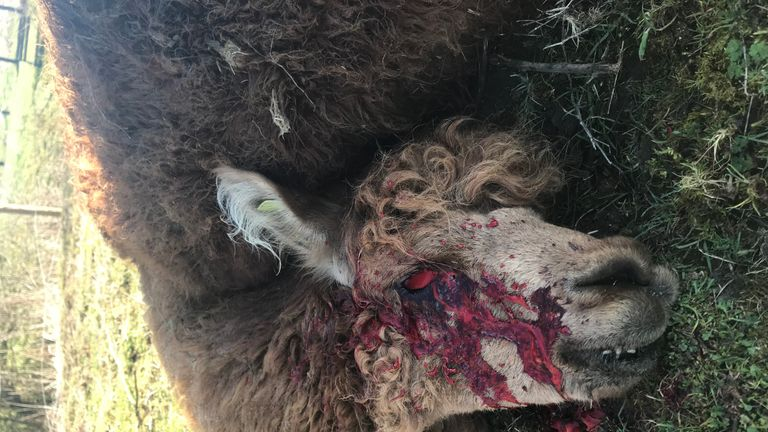 Ed, an alpaca, was found with his eye gouged out