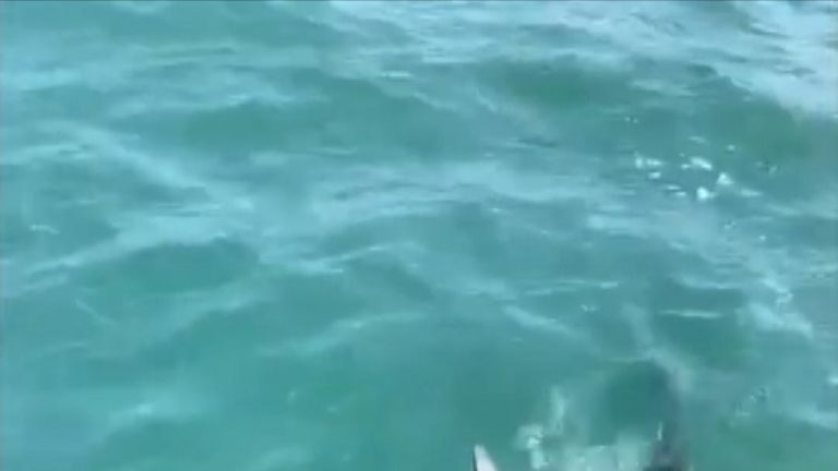 A huge porbeagle shark more than eight feet long was caught and then released of the Cornwall coast.