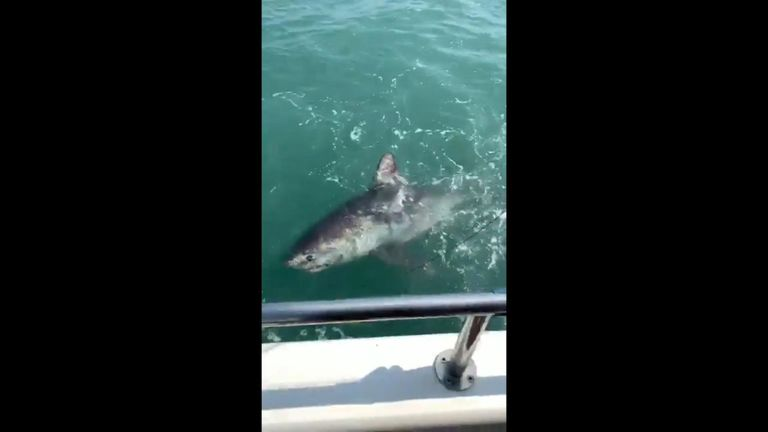 The shark appeared to be distressed during the footage