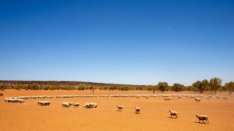 Sheep belonging to Garry Mooring gather during feeding on February 21, 2019 in Louth, Australia