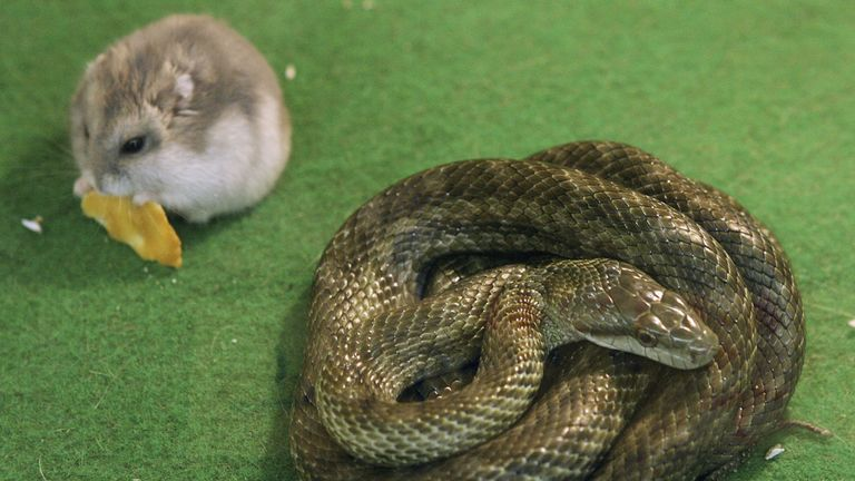 Gohan the hamster and Aochan the rat snake inside their cage at Tokyo Mutsugoro Animal Kingdom on January 20, 2006 in Tokyo, Japan