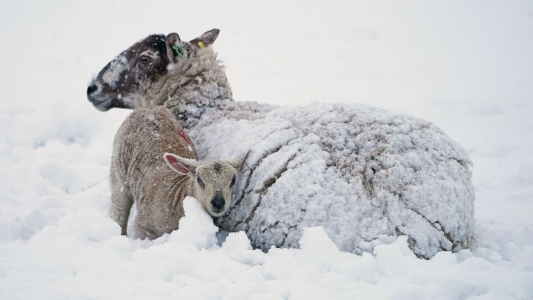 Snow covered sheep and lambs in Allendale