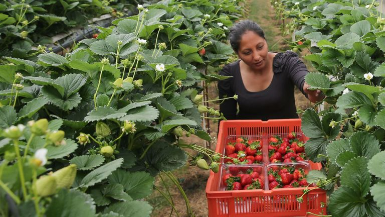 A seasonal worker from Romania picks strawberries at BR Brooks & Son farm in Faversham, south east England on June 29, 2018