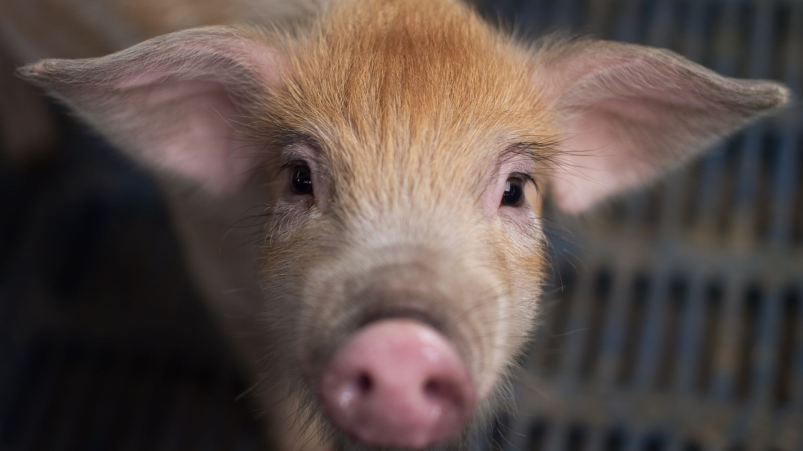 New swine flu found in pigs in China with 'human pandemic potential'   World News 1