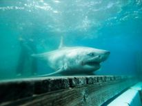 The shark was originally found in a region off the coast of Canada. Pic: Ocearch