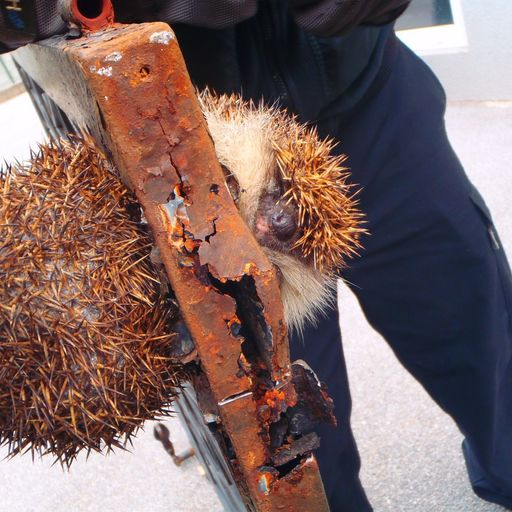 Firefighters rescue hefty hedgehog wedged in gate