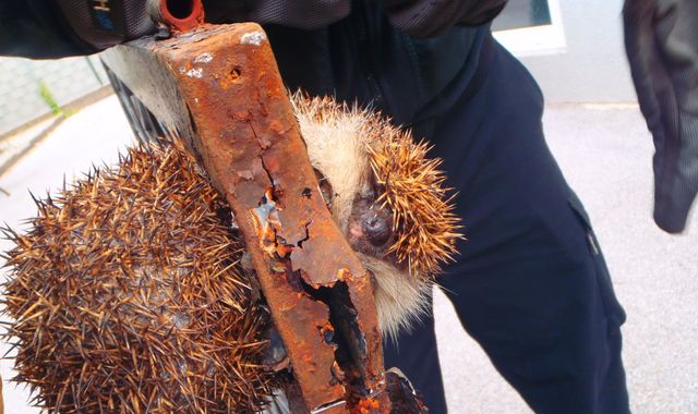 Firefighters in Austria rescue hefty hedgehog wedged in gate